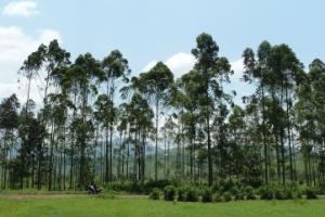 Das soziale Projekt von Stipendiat Pacifique: Wiederaufforstung des Eukalyptus im Nord Kivu (Mweso)