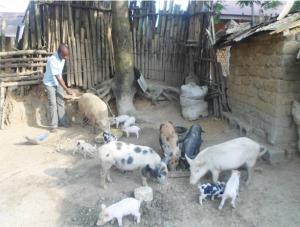 Schweinezucht Legény und Vérdianie